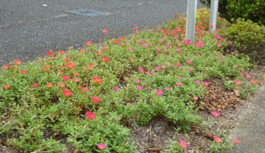 ポーチュラカで花いっぱいの街に